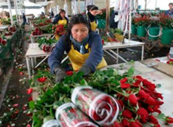 Colombia exportará 500 millones de flores por San Valentín